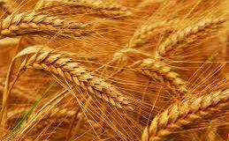 Si el grano de trigo cae en tierra y muere, da mucho fruto